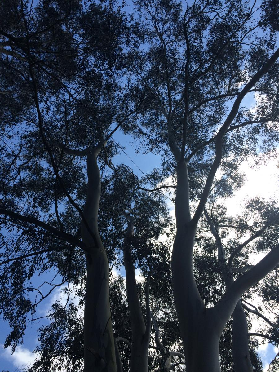 Introduction To Cable Bracing Arboricultural Association