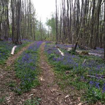 Open dirt track with blue bells and knocked over trees