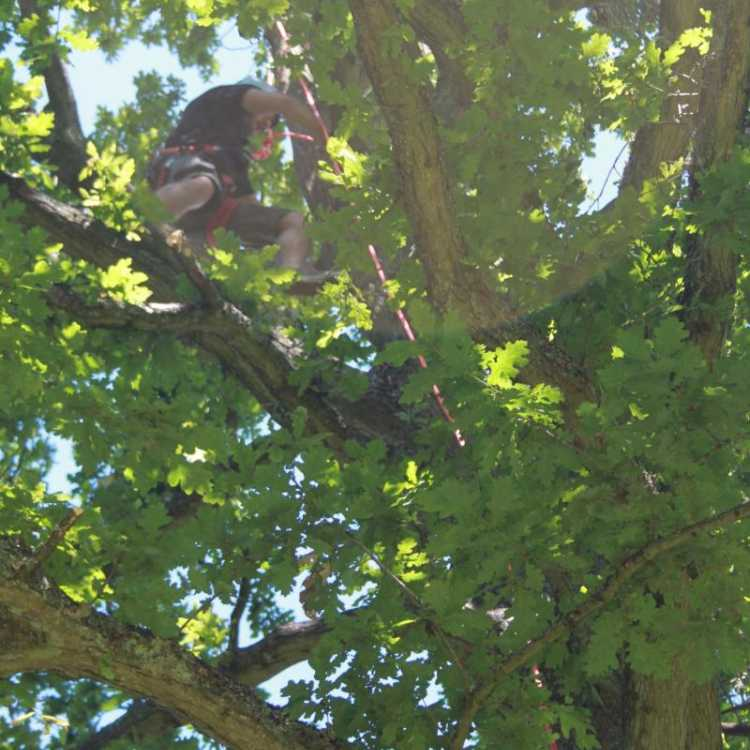 Man near the top of a tree whilst tree climbing