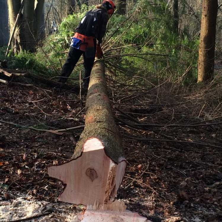Felling over 380mm scott fraser training in Kent