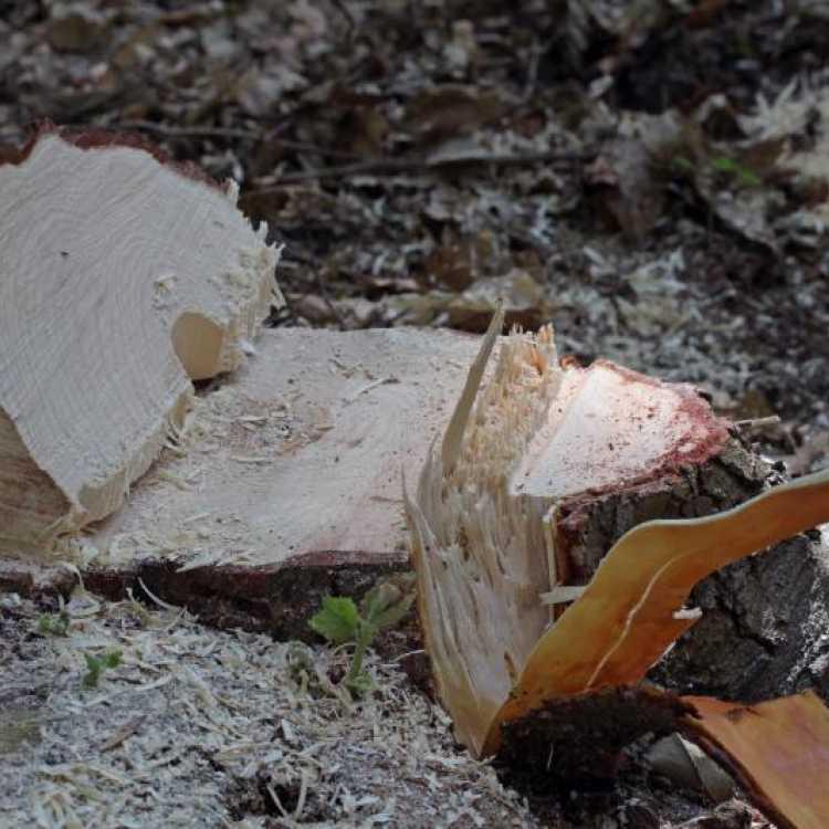 forward leaning tree cut