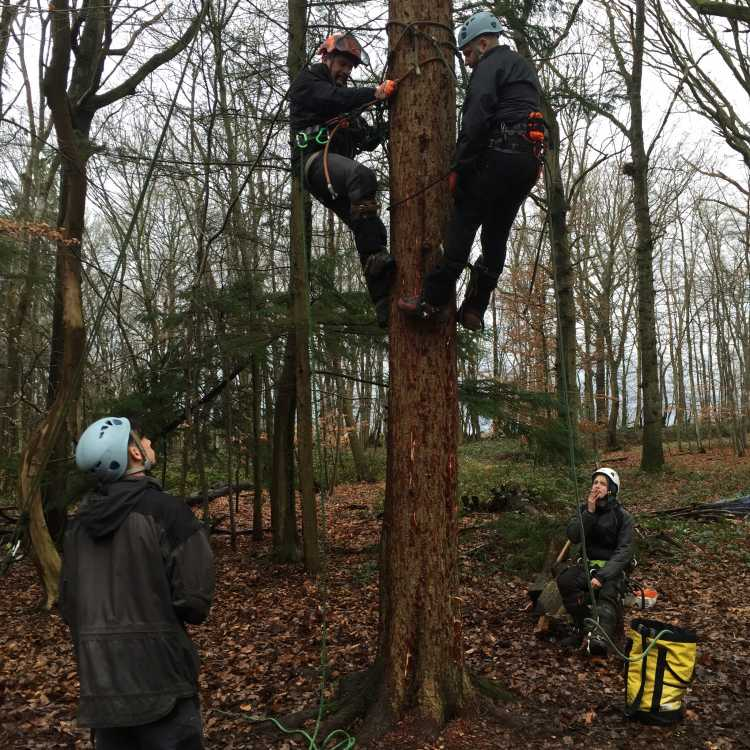 Two experienced tree climbers showcasing pole climbing whilst two others watch and learn in the woods on a winters day