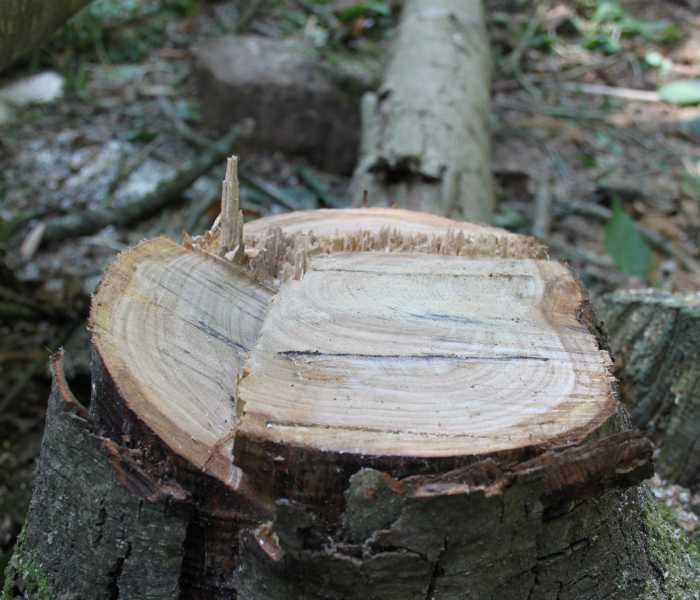 split level felling cut