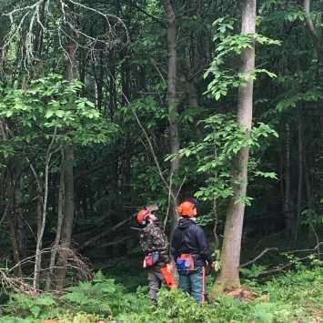 Preparing for felling trees over 380mm